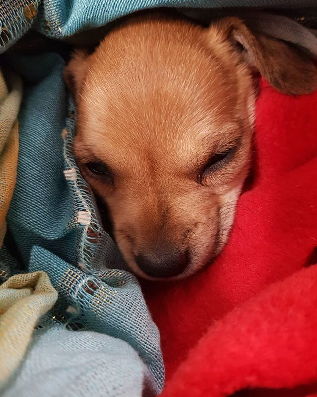 PUPPY.LOVE ~ Funding contributions from the CDRC (Central Desert Regional Council) and the Yuendumu and Nyirripi GMAAC via CLC means that we can help little puppies like Joy when they are sick or lost. Isn't she a darling! . . . #aussiedesertdogs #animalrescue #puppylove #campdogs . . . #dogsofinstagram #instadog #dogoftheday #doglover #doggo #ilovemydog #doglife #animals #adoptdontshop #rescuedog #rescuedogsofinstagram #rescueanimals #rescuedogs