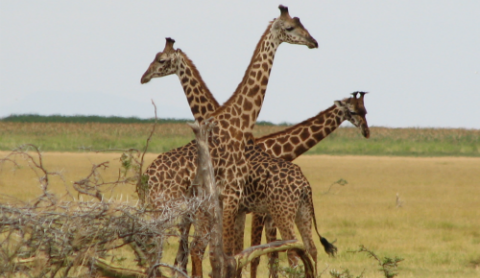 ARUSHA NATIONAL PARK - Located just a short drive from Arusha and Moshi, this is Tanzania's most accessible national park.
