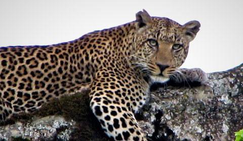 NGORONGORO CRATER AND NGORONGORO CONSERVATION AREA - The Ngorongoro Conservation Area covers 8,292 square kilometers (3201 square miles)