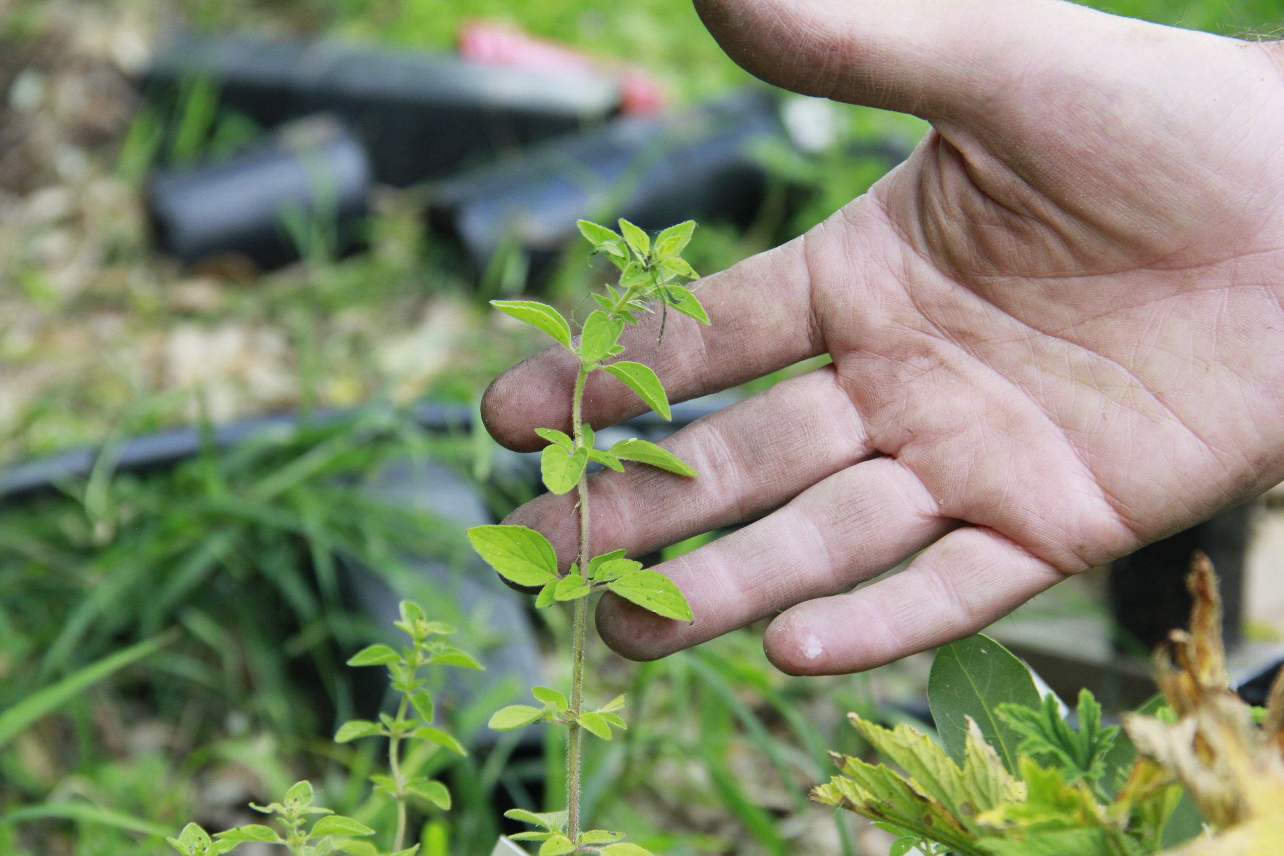 Lentil As Anything Garden Abbotsford Herbs.JPG