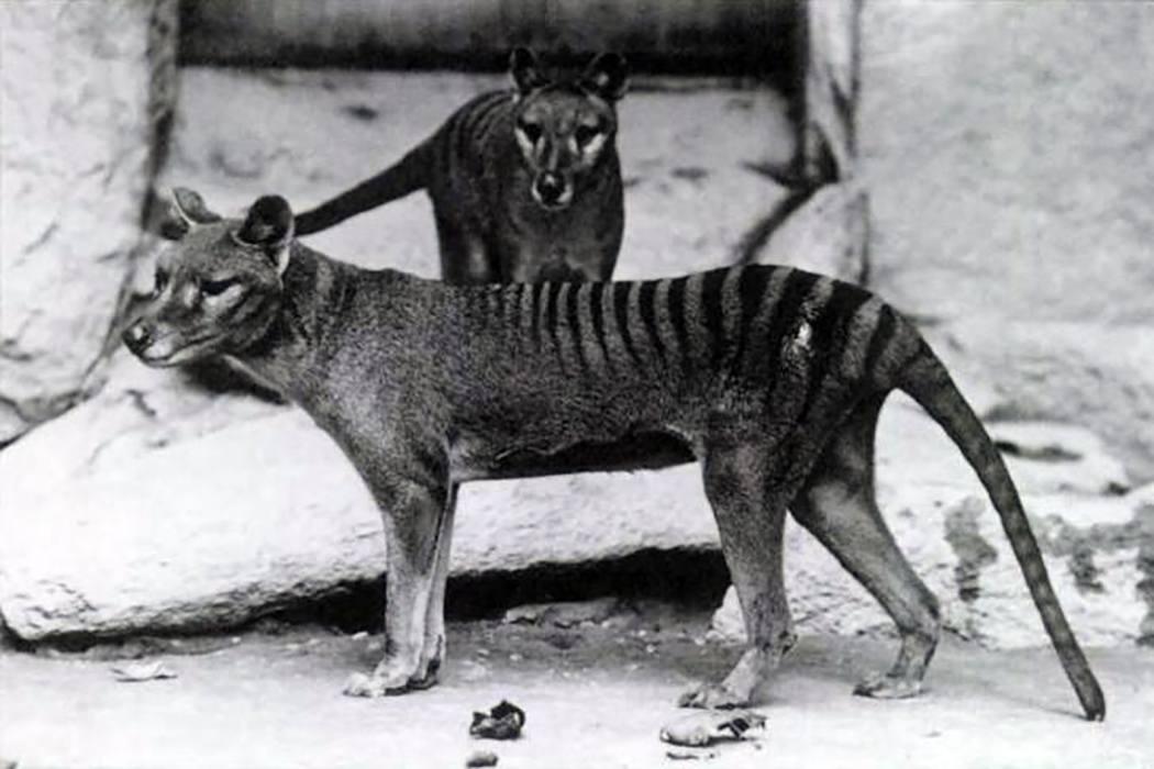 Tasmanian Tiger.jpg