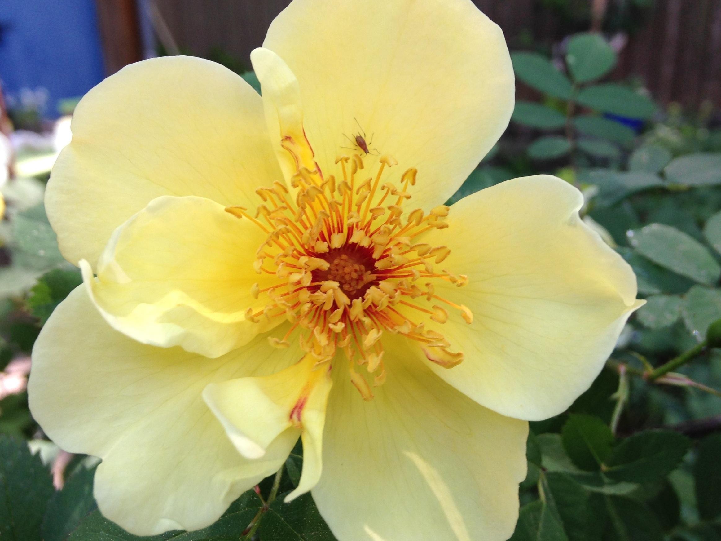 Rosenblüte gelb.JPG