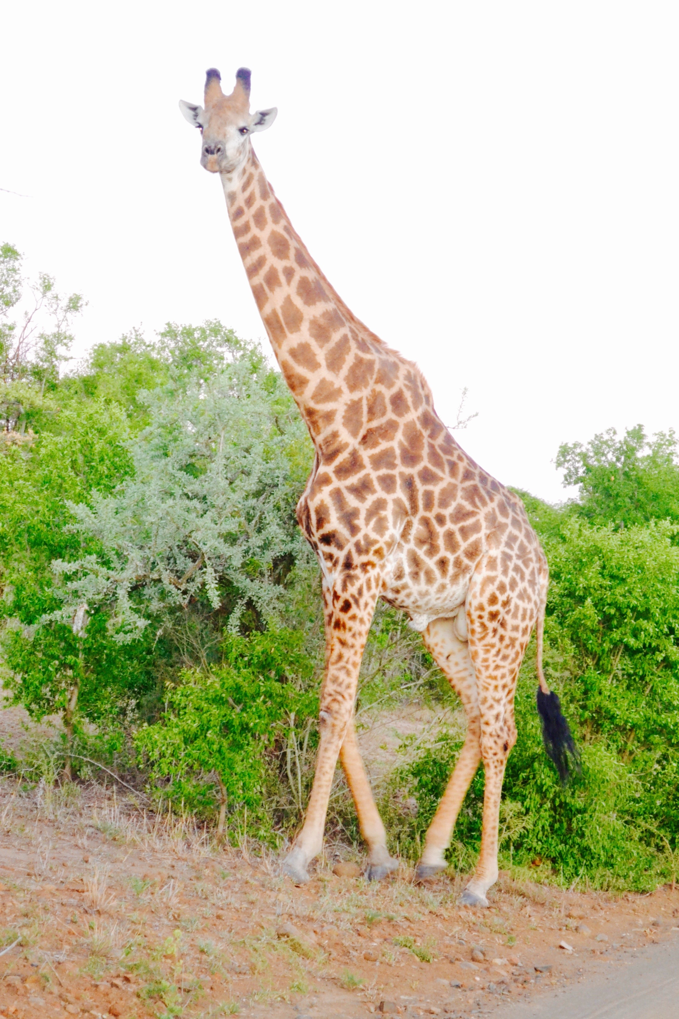 south-africa Girafe.Ma couleur a ses merveilles. Voyage en terre zouloue