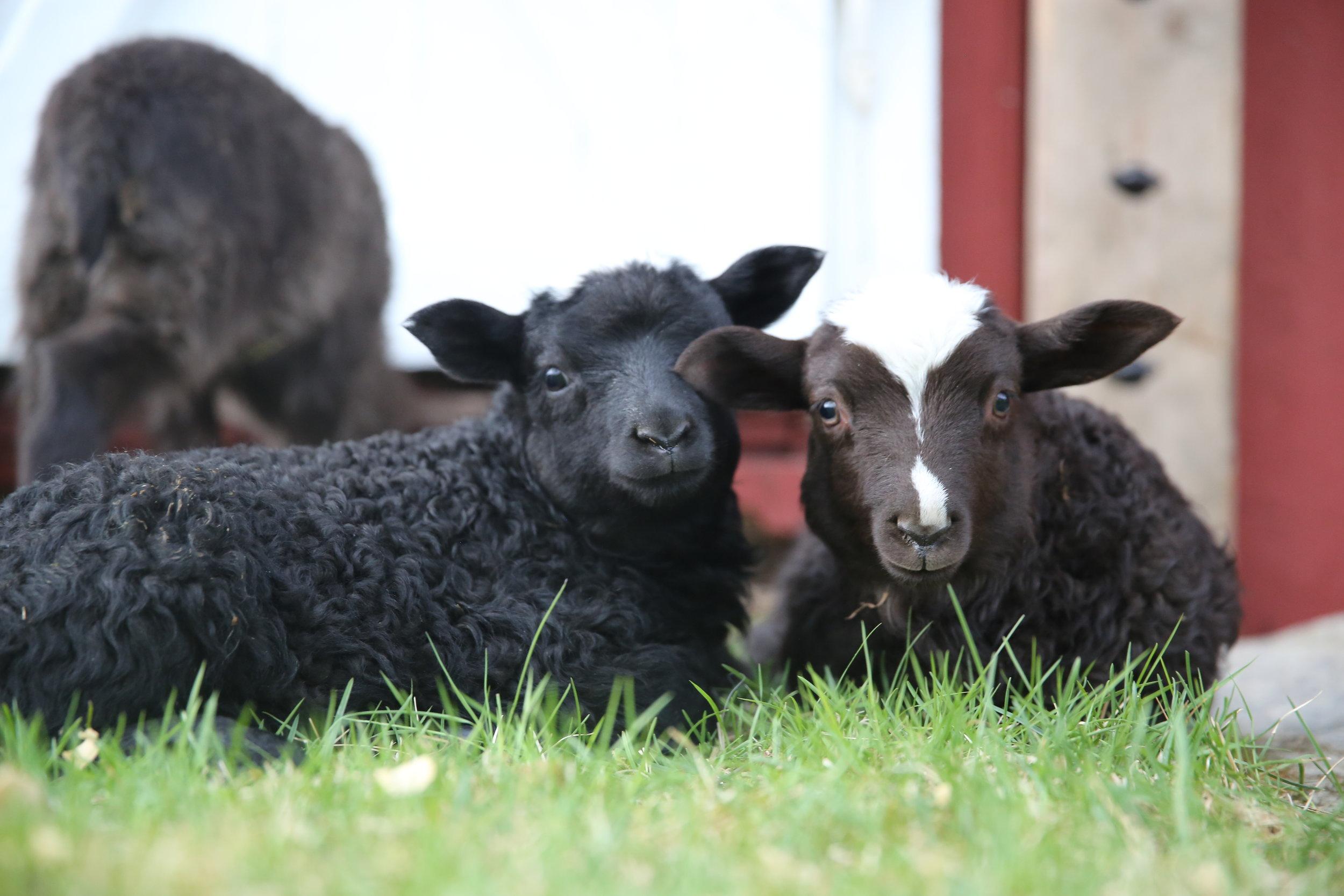 økologisk lam -