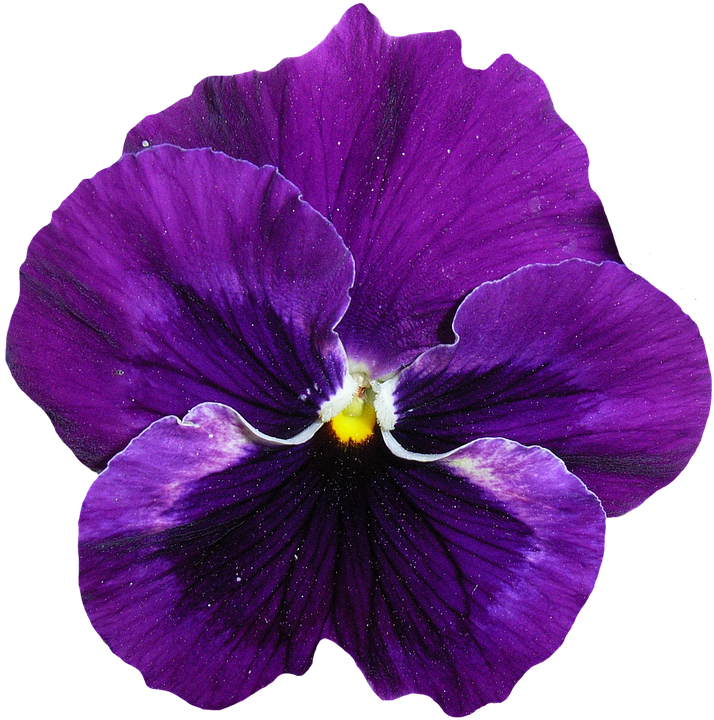 pansy-1385946_960_720.png