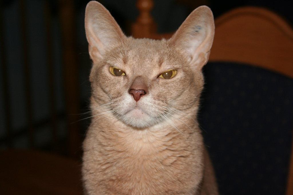 cranky_cat_by_thewerewolfpuppy-d3b0xcf.jpg