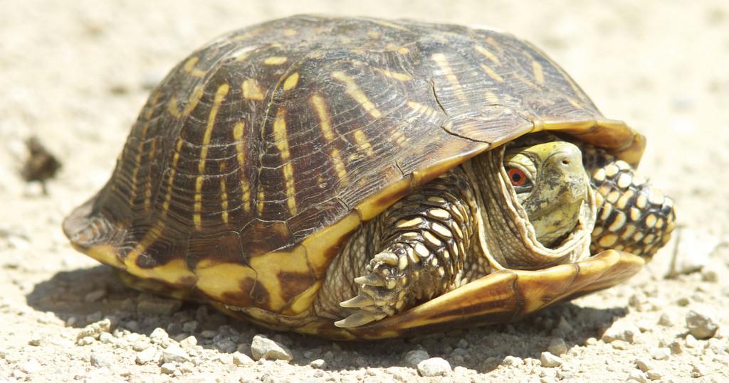 turtle in shell.jpg