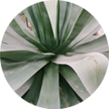 adria - agave copy.png