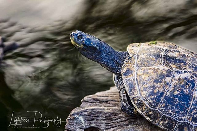 """Turtle Blues"" Another fun turtle shot from my adventure expedition to the #honoluluzoo"