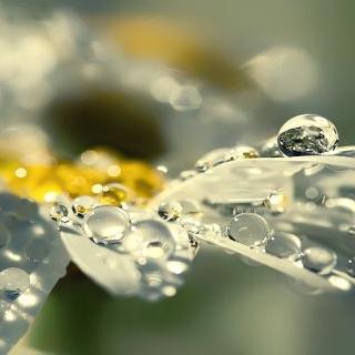 Anthemis nobilis Flower Water