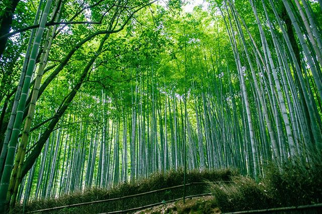 Bamboo Forest  #bambooforest  #japan #kyoto  #photography  #travel  #forest