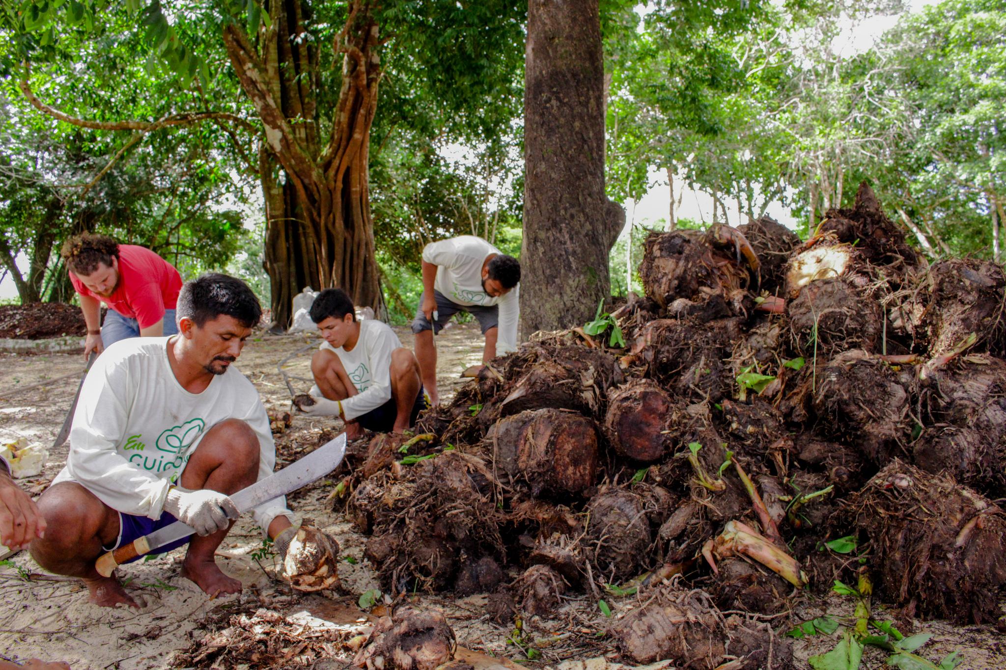 Separação de rizomas