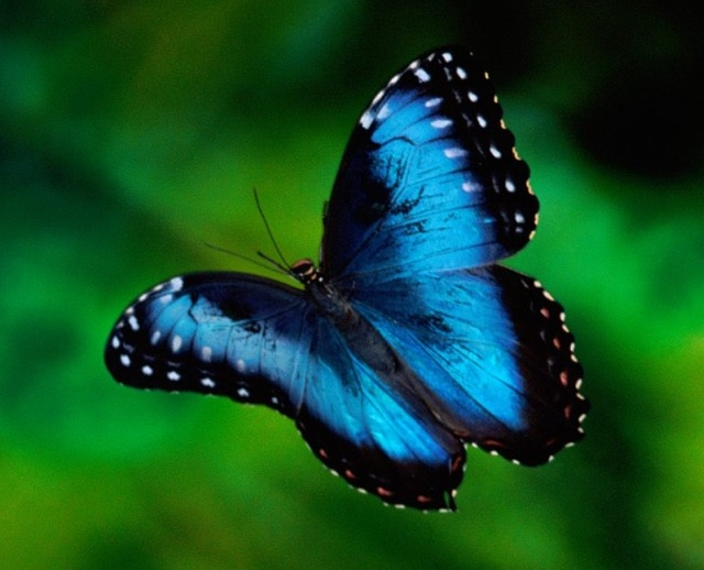 blue-butterfly-iphone-4s-wallpaper-ilikewallpaper_com1.jpg