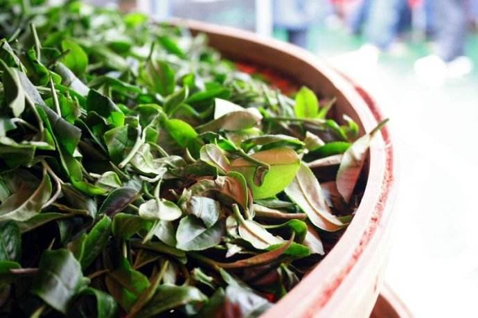 Harvested leaves to be processed to Oriental Beauty tea. (Image source:    librarywork.taiwanshoolnet.org   )