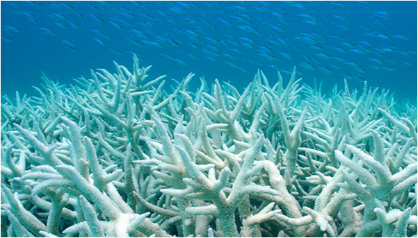 Without Zooxanthellae, corals lose both their colour and 85% of their energy source.