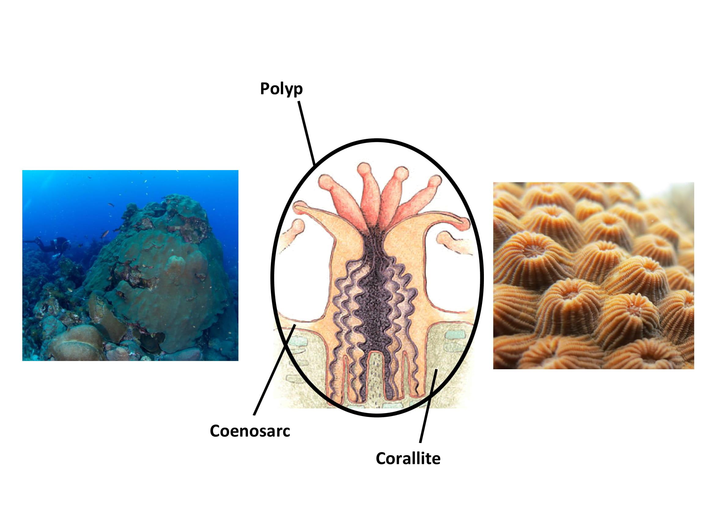 Coral diagram-1.jpg