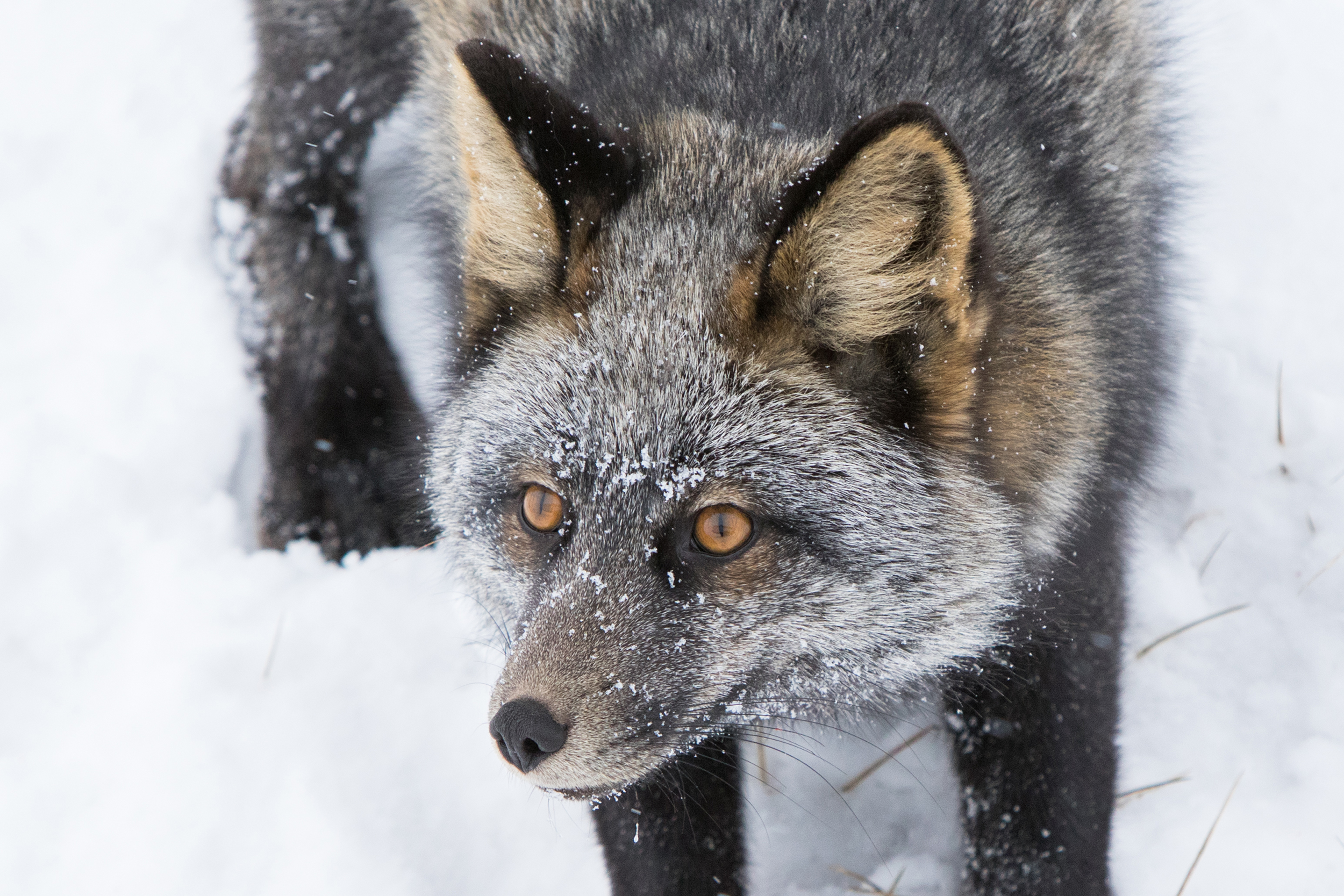 Silver fox/cross fox, depends on who you ask.