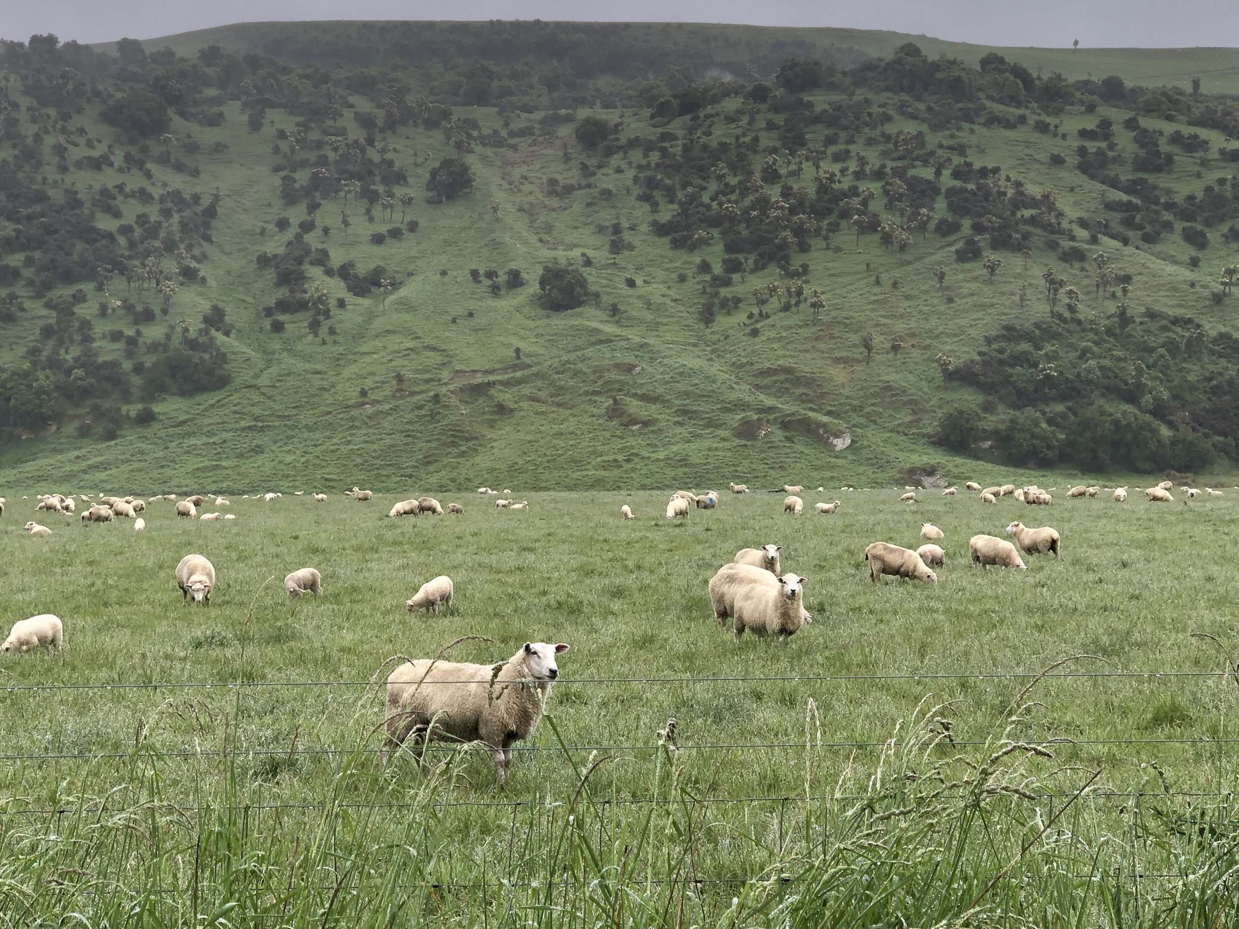 Hoggets with Lambs on Moodys Flats