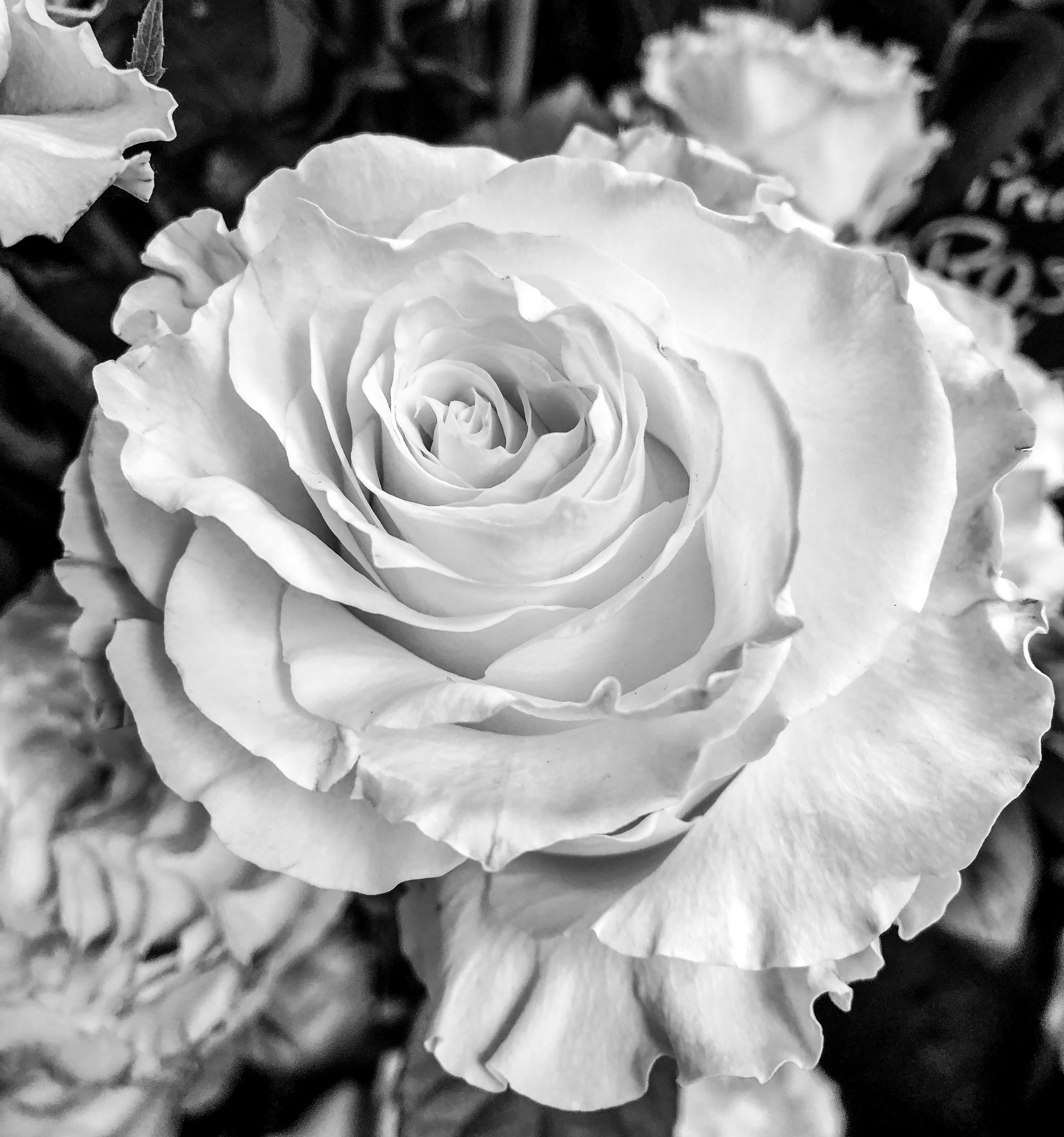 rose - black and white