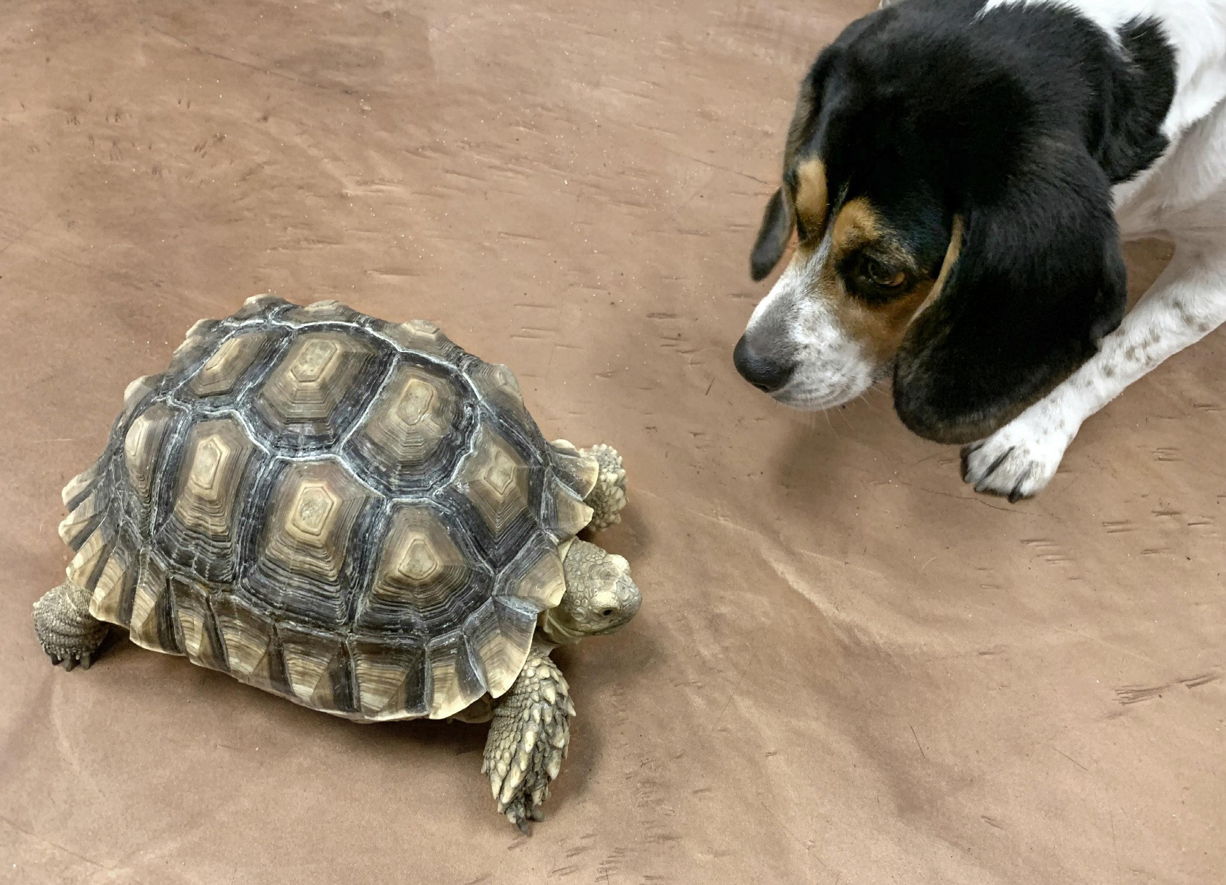 Piper + turtle