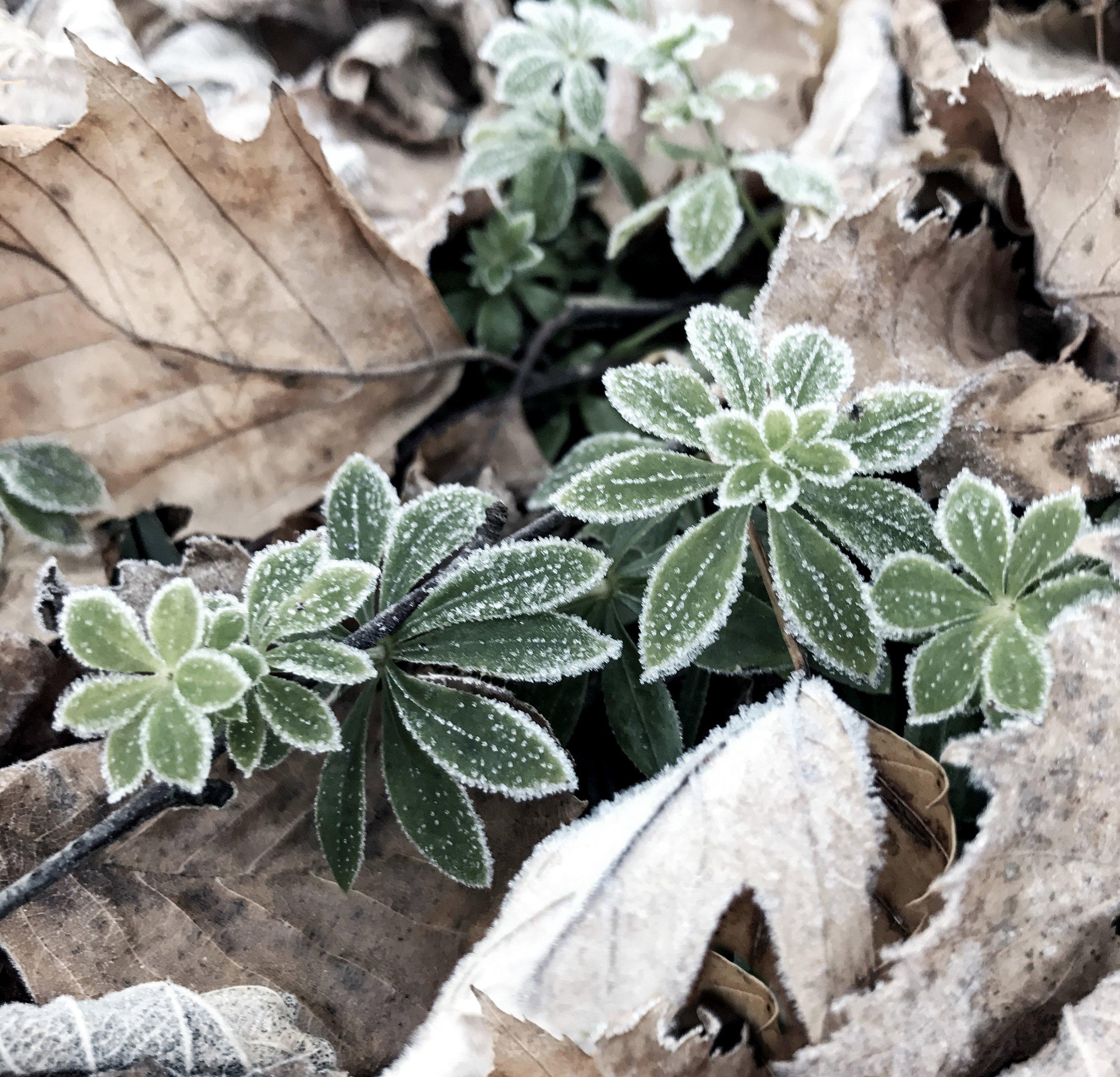 Frost on Sweet Woodruff
