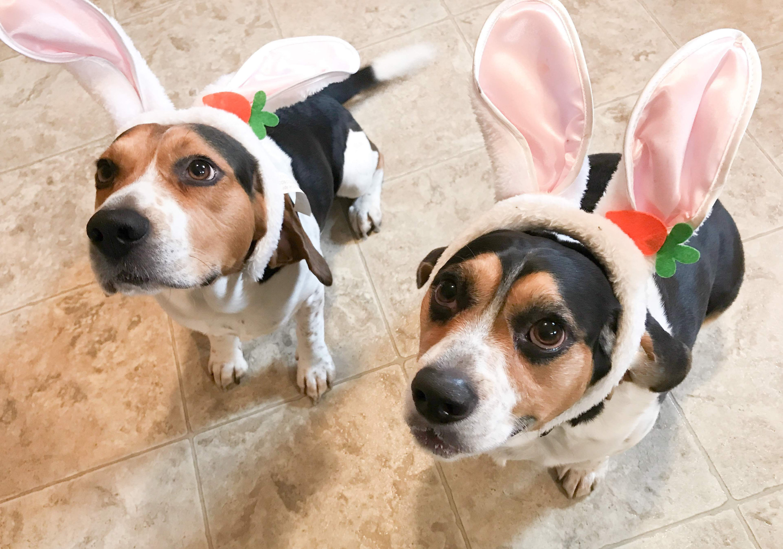 Easter Beagles