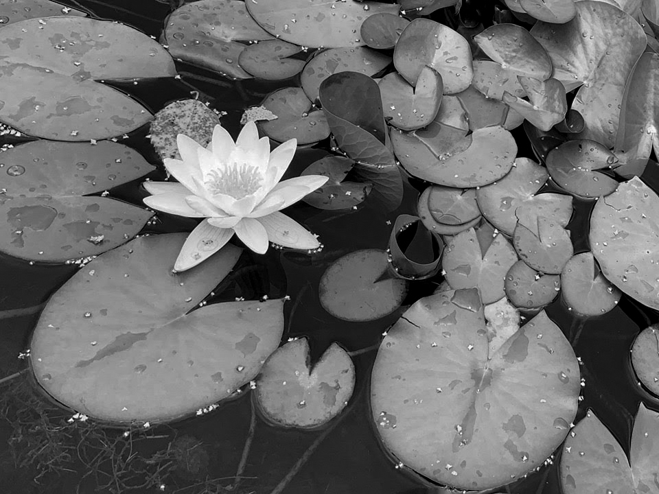 I posted too late this week and others had the same ideas I did — sunflowers, butterflies, and carnival rides — typical August images. So instead, here's my colorless ode to Monet's waterlilies. #dogwoodweek34 #dogwood52 #2019dogwood52 #waterlilies #monetmoment