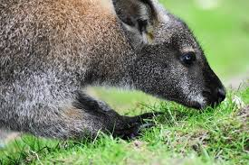 Wallabies have lived wild on the Isle of Man since the 1970s!