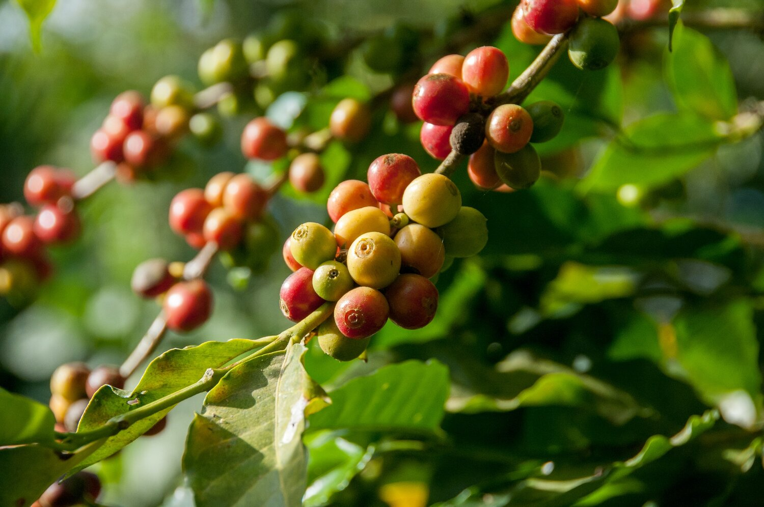 Coffee berries from a coffee plantation