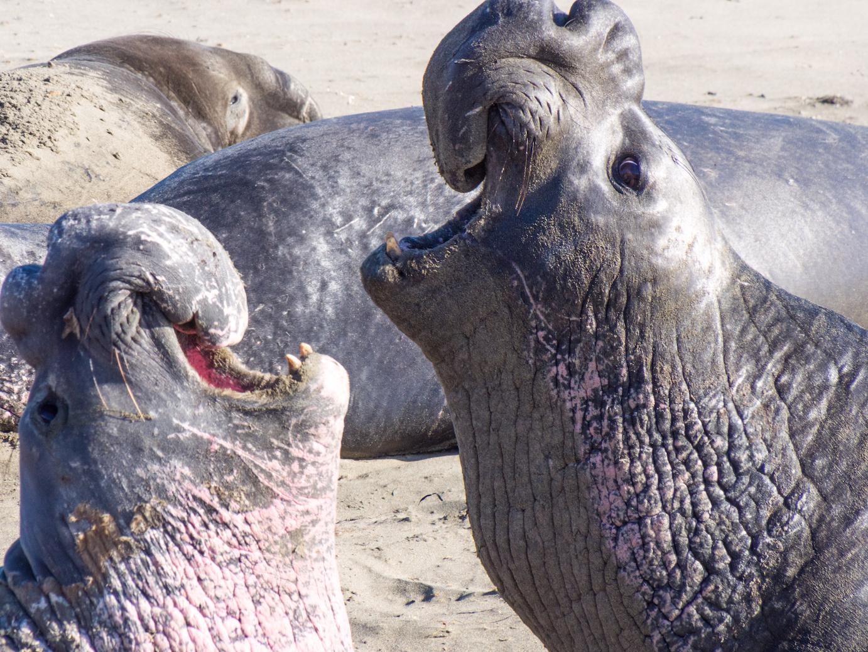 BULL elephant seals.jpg