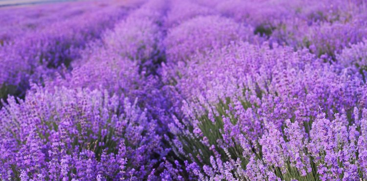 Lavender growers of Deerhaven farm — This Outside Life