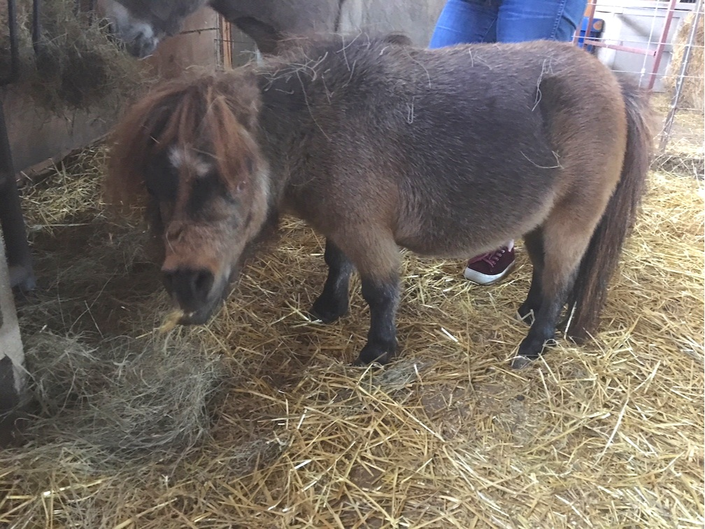 Cookie, the miniature dwarf horse that had so many dental issues.