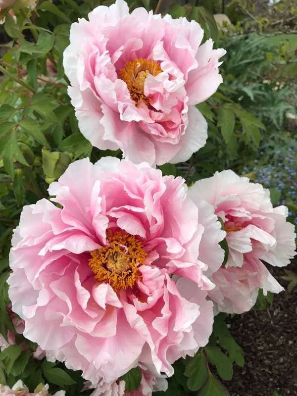 Who doesn't love big, bodacious peonies?!