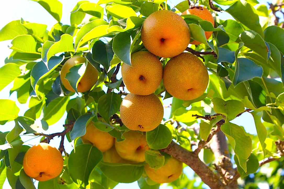Asian Pears.jpg