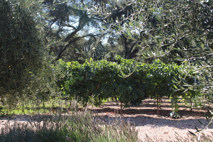 Vines Olives.jpeg