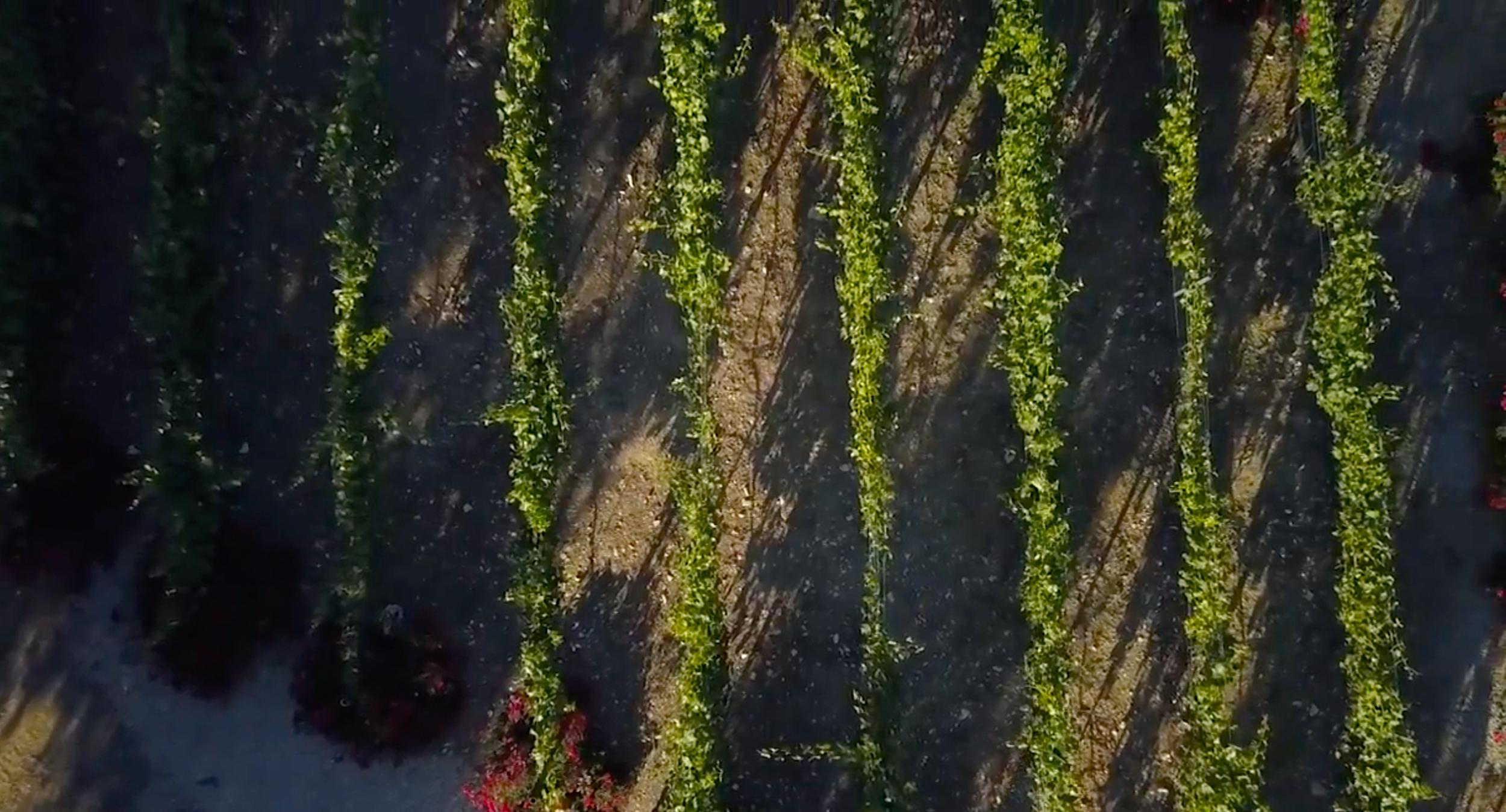 Drone Vineyard.png