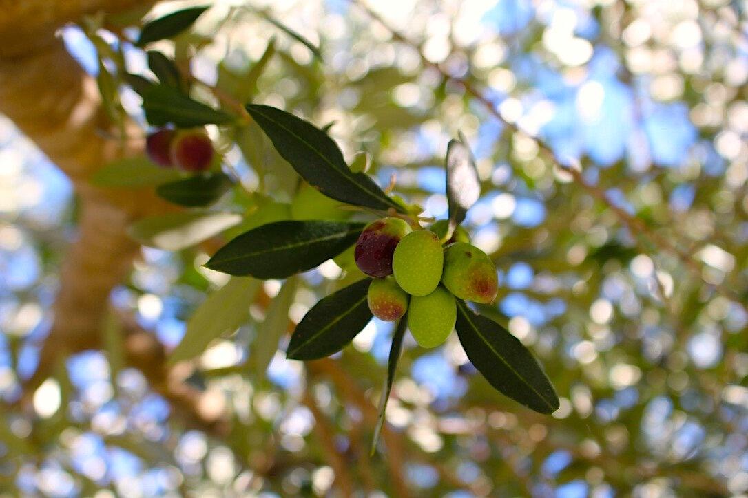 Olives Close Up.jpg