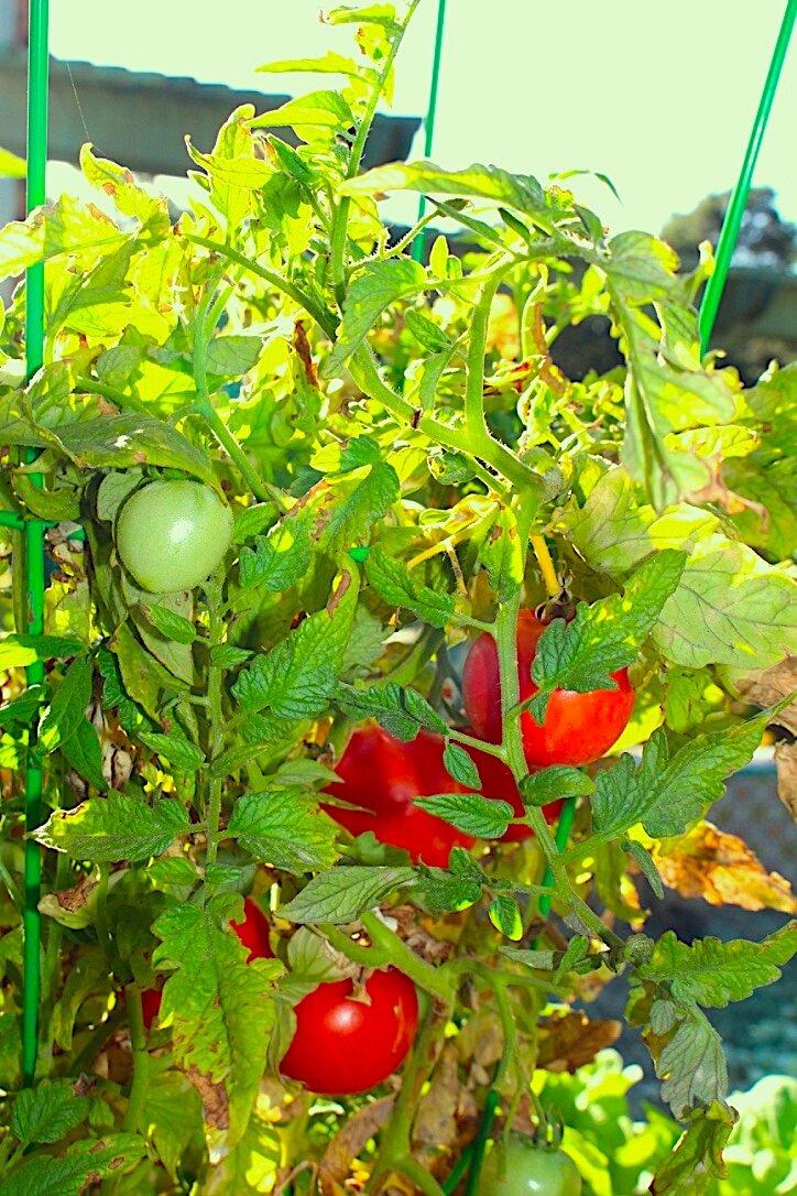 tomatoes copy.jpg