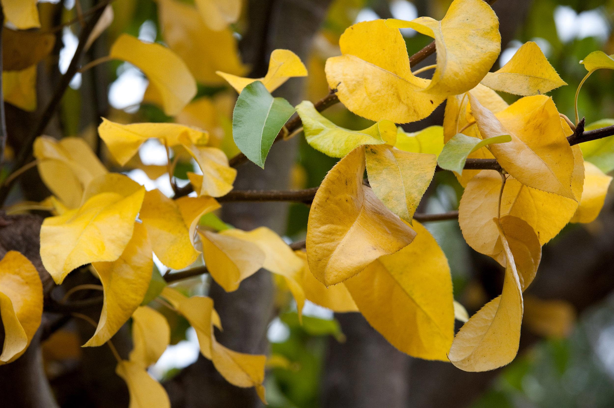 Asian pear foliage (1 of 1).jpg