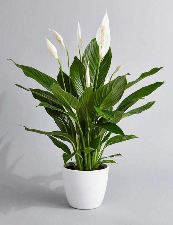 peace-lily.jpeg