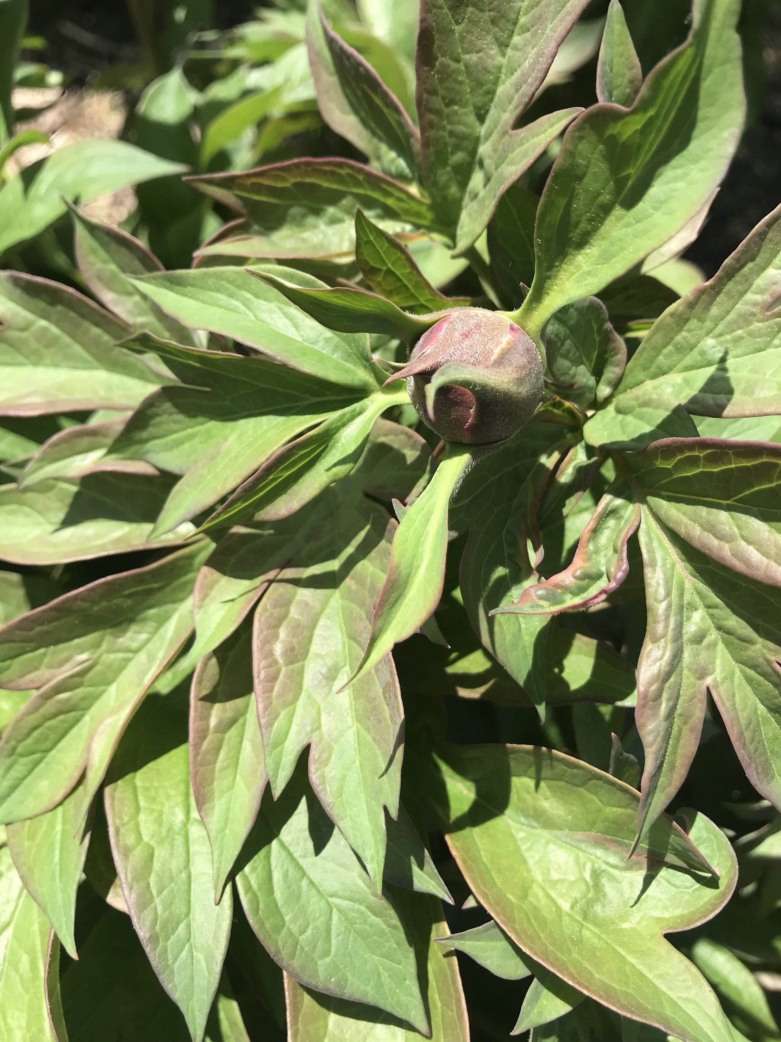Itoh peony waiting to bloom.