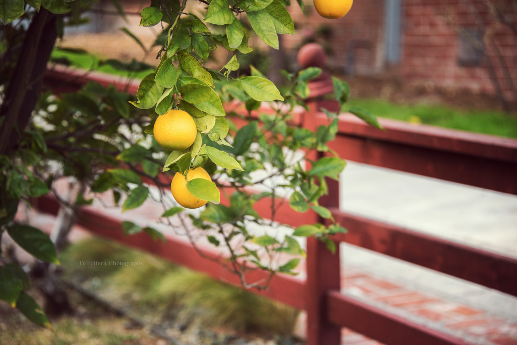 Anahiem+Lemons.png