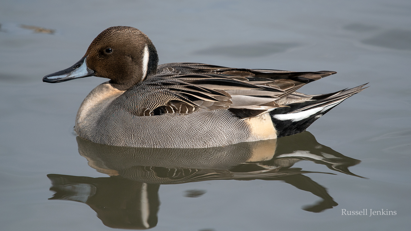 pintail_RJE3048 copy.jpg