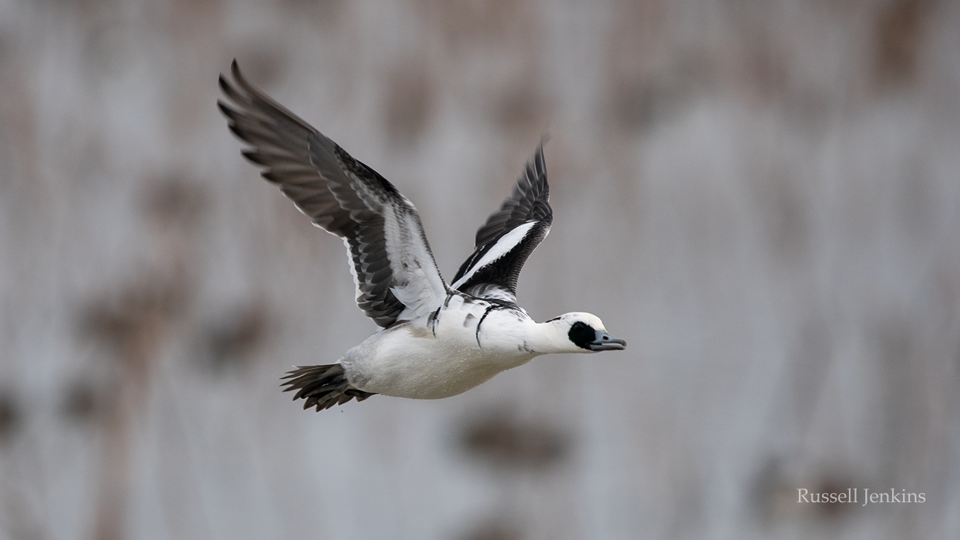 smew 2018_RJE2547 copy.jpg