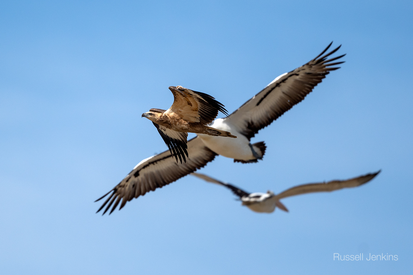 A Sea-eagle and two pelicans