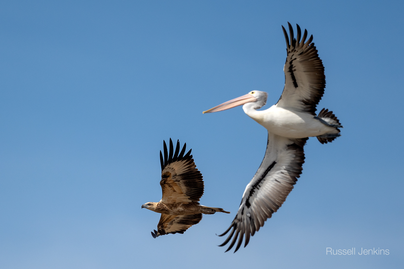 White-bellied Sea-eagle and Australian Pelican