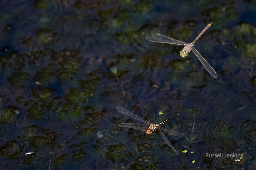 Water Prince and Australian Emperor_RJE9629-copy.jpg