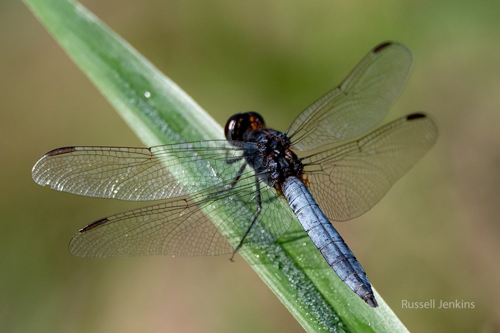 Black-headed Skimmer_RJE9300-copy.jpg