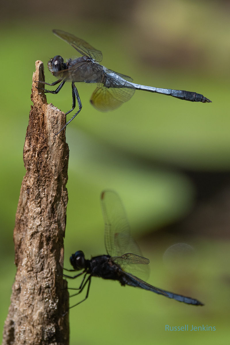 Blue Skimmer above and lower species is Black-headed Skimmer