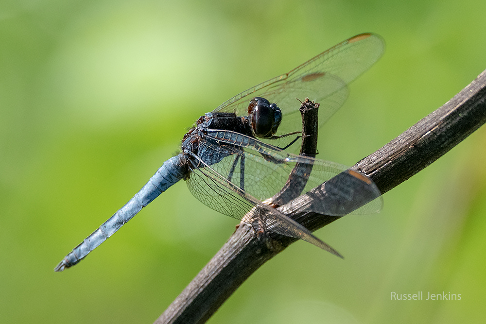 Black-headed Skimmer_RJE9344-copy.jpg